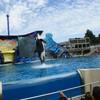 Китообразные касатки во время шоу в Sea World