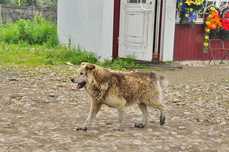 39. Кунгурская собака готова к зиме.